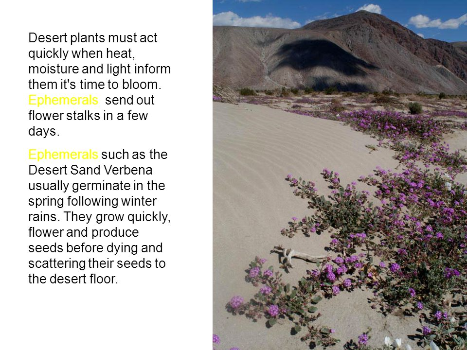 Desert plants must act quickly when heat, moisture and light inform them it's time to bloom. Ephemerals send out flower stalks in a few days. Ephemera