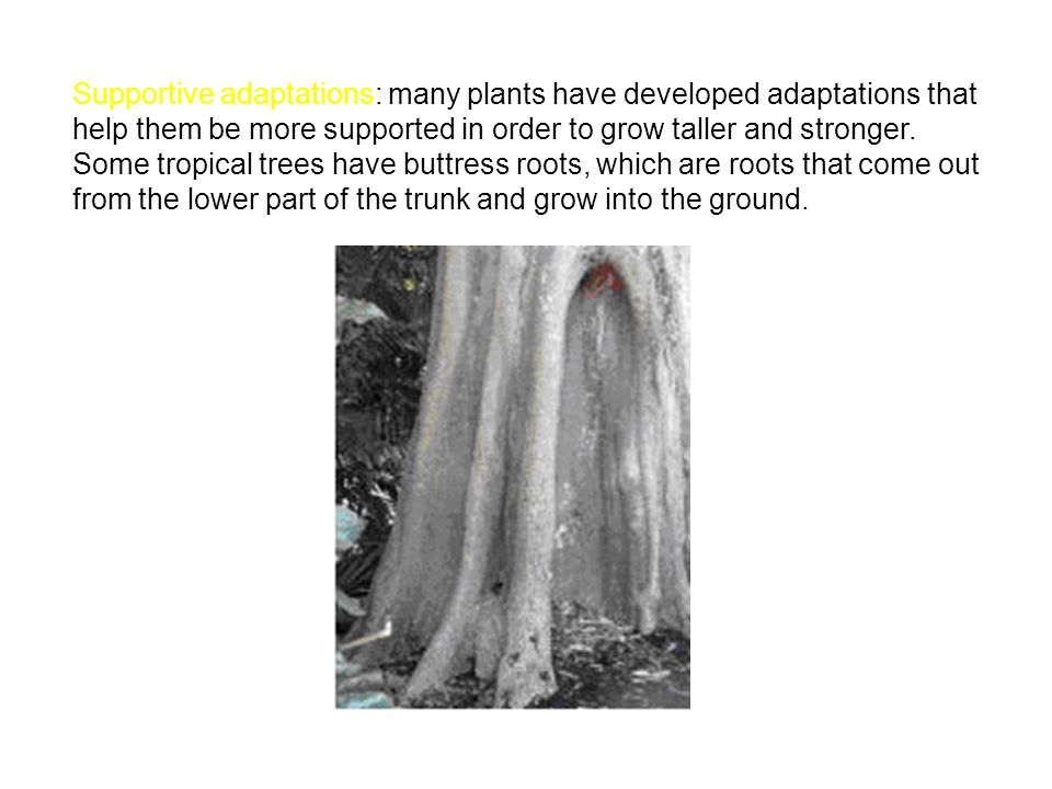 Supportive adaptations: many plants have developed adaptations that help them be more supported in order to grow taller and stronger. Some tropical tr