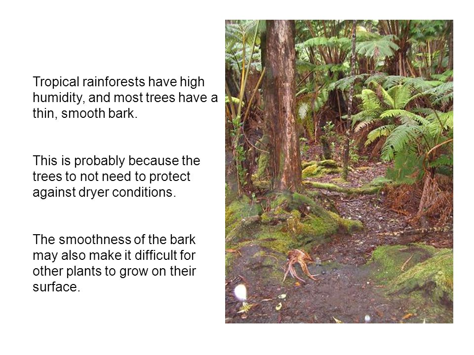 Tropical rainforests have high humidity, and most trees have a thin, smooth bark. This is probably because the trees to not need to protect against dr