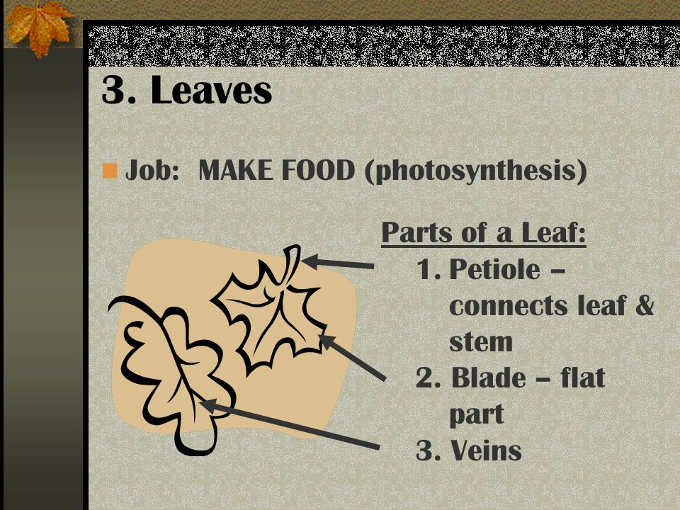 3. Leaves Job: MAKE FOOD (photosynthesis) Parts of a Leaf: 1.Petiole – connects leaf & stem 2.