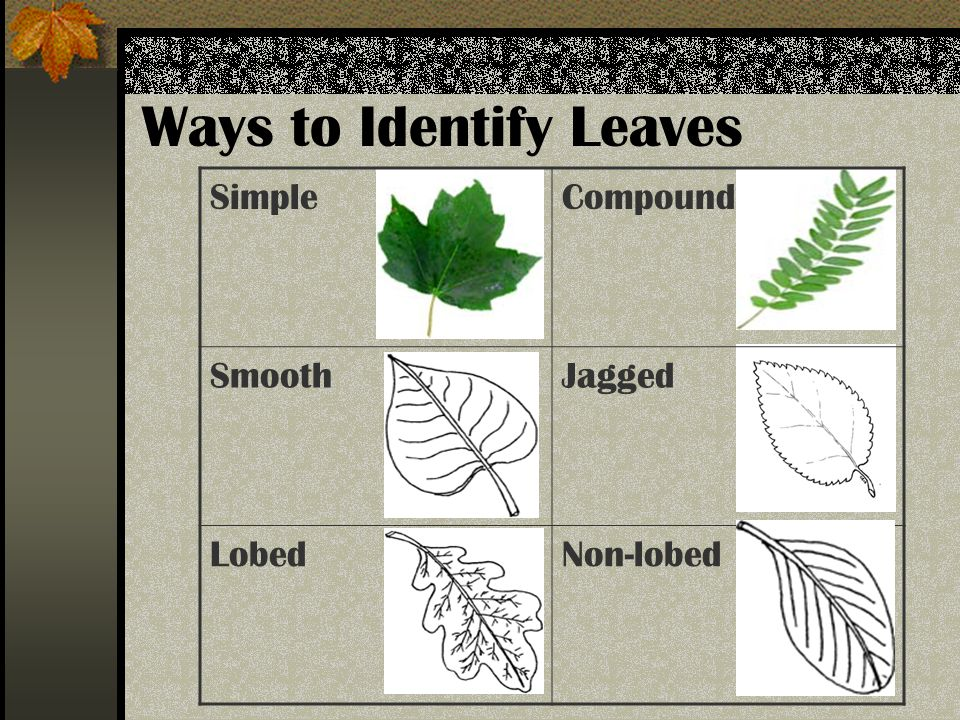 Ways to Identify Leaves SimpleCompound SmoothJagged LobedNon-lobed