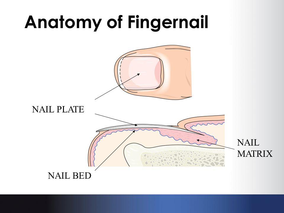 Anatomy of Fingernail NAIL MATRIX NAIL PLATE NAIL BED