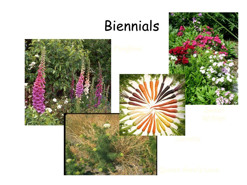 Biennials Foxglove Sweet William Carrots Queen Anne's Lace