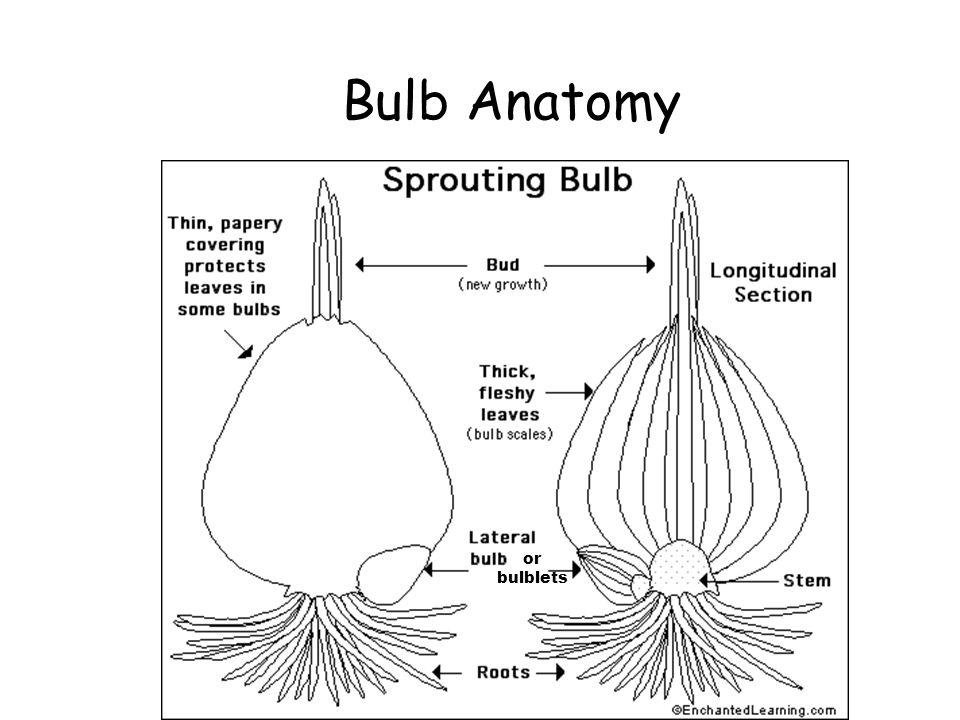 Bulb Anatomy or bulblets