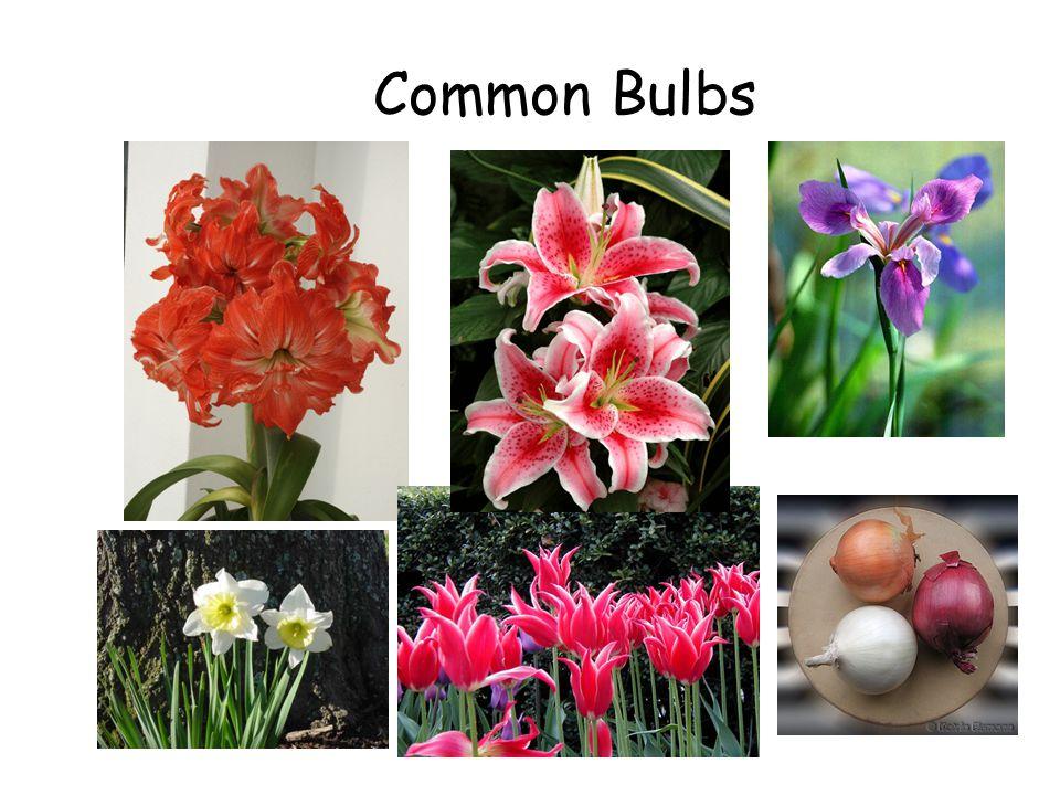 Common Bulbs