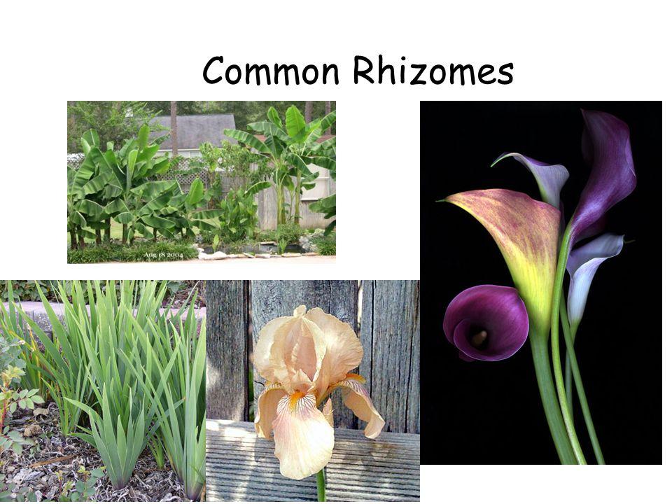 Common Rhizomes