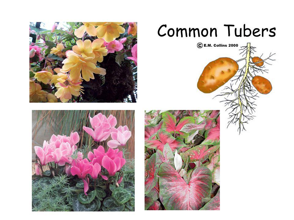 Common Tubers
