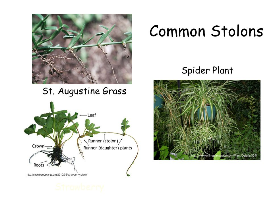 Common Stolons St. Augustine Grass Strawberry Spider Plant