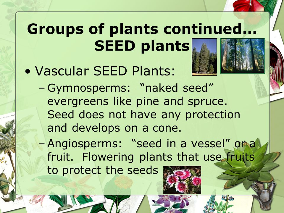 Groups of Seedless Plants Continued… Ferns –Leaf is called a frond –Still no seeds, sperm swim to egg –Have vascular tissue, so they can grow taller T