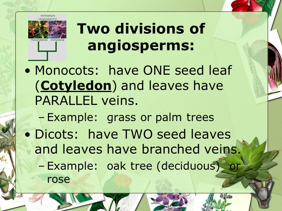 Two divisions of angiosperms: Monocots: have ONE seed leaf (Cotyledon) and leaves have PARALLEL veins.