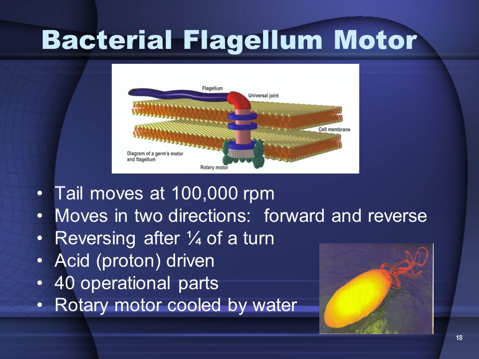 Bacterial Flagellum Motor Tail moves at 100,000 rpm Moves in two directions: forward and reverse Reversing after ¼ of a turn Acid (proton) driven 40 operational parts Rotary motor cooled by water 18