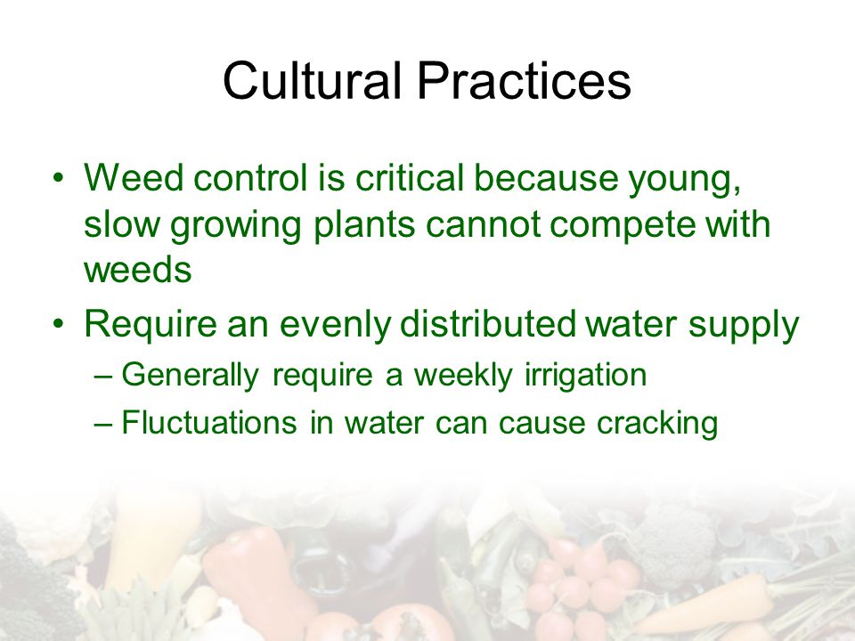 Cultural Practices Weed control is critical because young, slow growing plants cannot compete with weeds Require an evenly distributed water supply –G