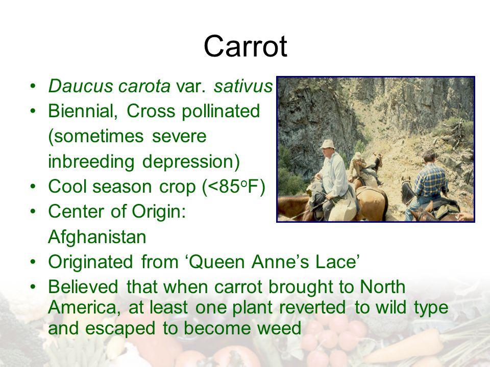 Carrot Daucus carota var.
