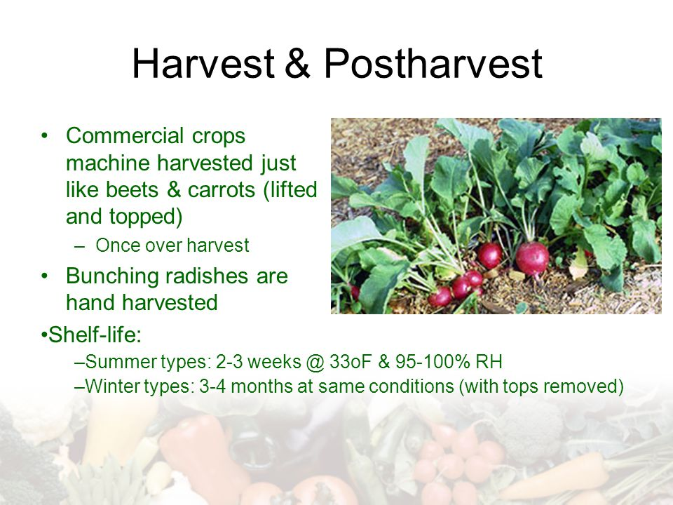 Harvest & Postharvest Commercial crops machine harvested just like beets & carrots (lifted and topped) –Once over harvest Bunching radishes are hand h