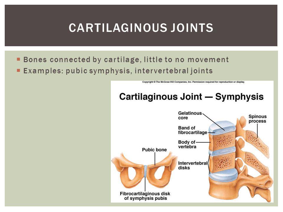  Bones connected by cartilage, little to no movement  Examples: pubic symphysis, intervertebral joints CARTILAGINOUS JOINTS