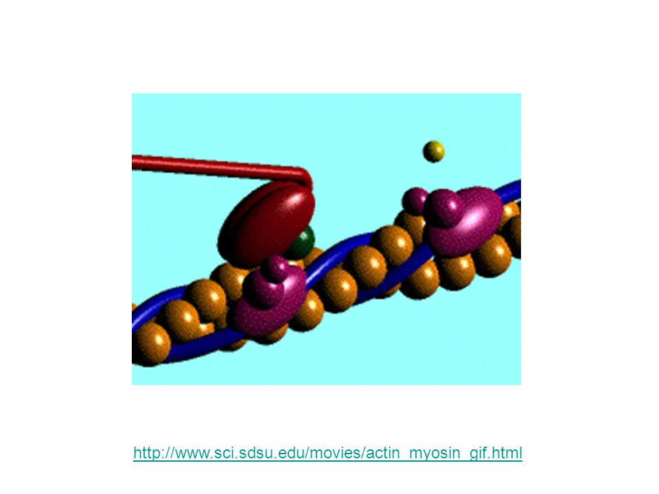 http://www.sci.sdsu.edu/movies/actin_myosin_gif.html