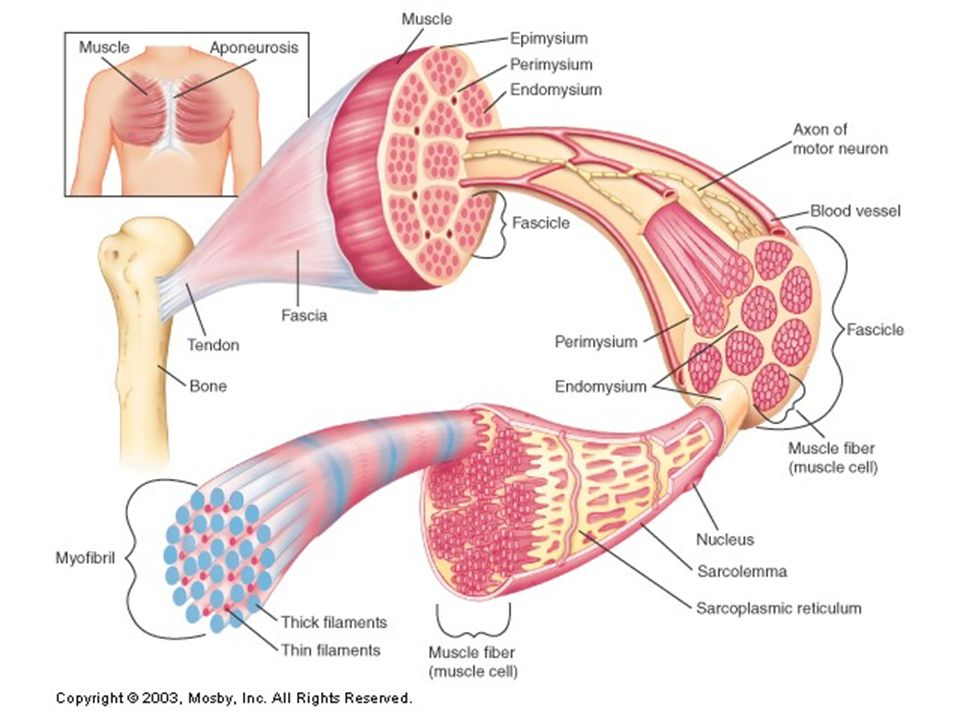 Overview of Muscle Cell Muscle cell = muscle fiber Sarcolemma = plasma membrane Sarcoplasm = cytoplasm Sarcoplasmic reticulum (SR) = network of tubules and sacs Multi-nucleated, multiple mitochondrion Bundles of myofibrils extend lengthwise & fill sarcoplasm –Composed of thick and thin myofilaments