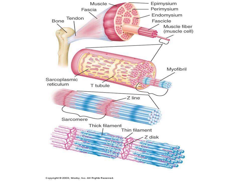 Sarcomere Contractile unit of a muscle fiber each myofibril consists of many sarcomeres