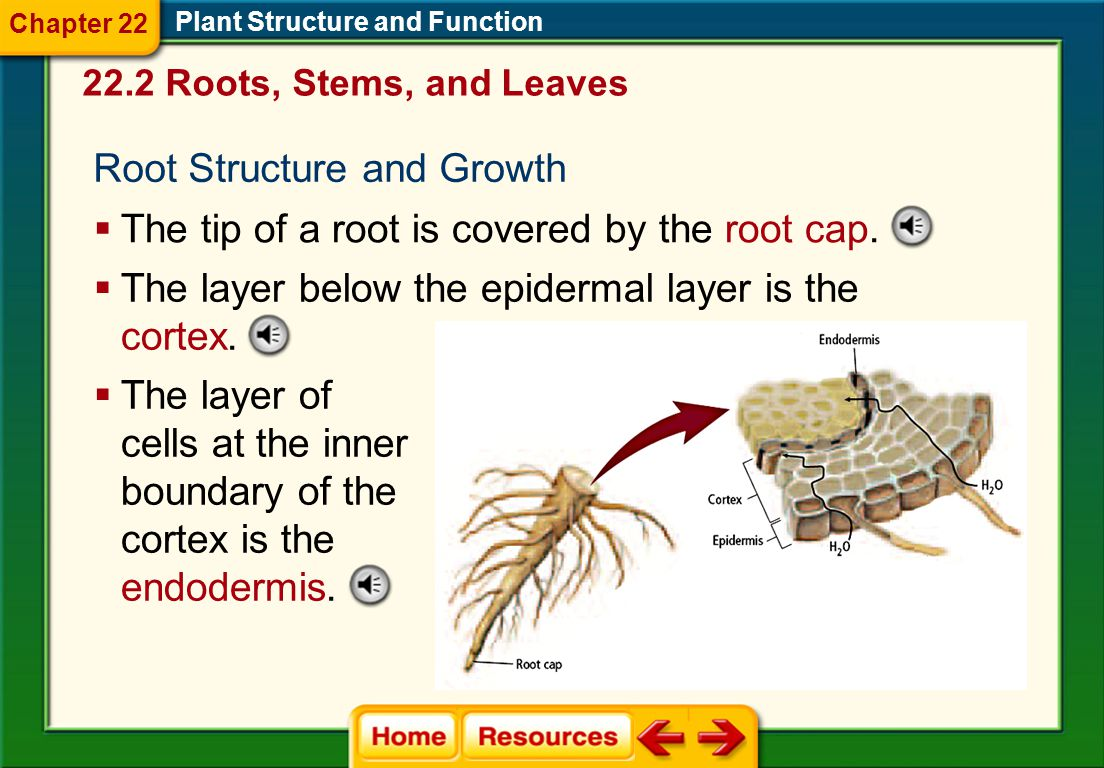 Roots  The root is usually the first structure to grow out of the seed when it sprouts. 22.2 Roots, Stems, and Leaves Plant Structure and Function 