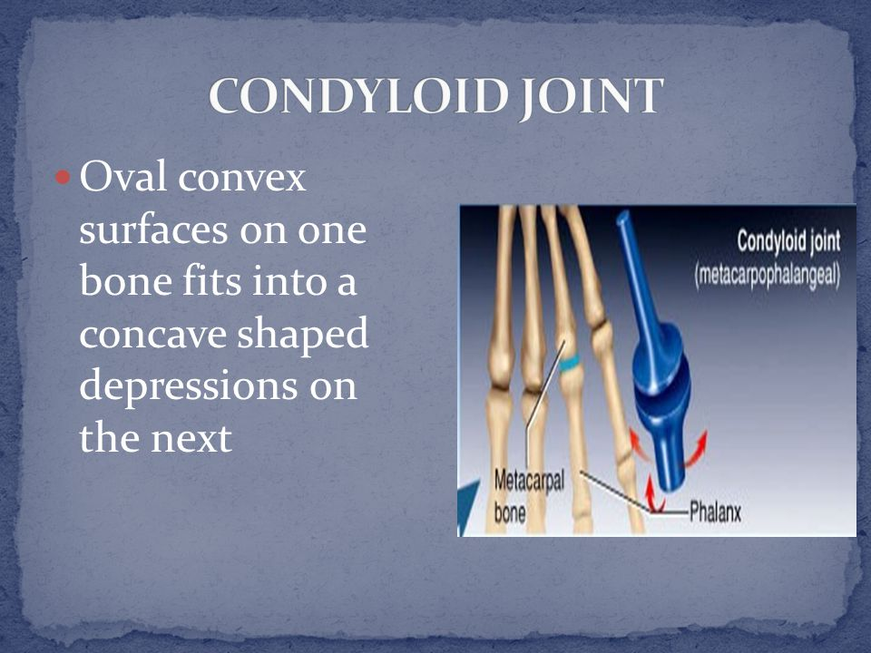 Oval convex surfaces on one bone fits into a concave shaped depressions on the next