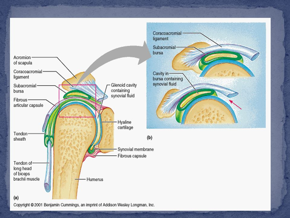 continuous with the periosteum of articulating bones and unites the articulating bones; consists of two layers – the outer fibrous membrane that may contain ligaments the inner synovial membranesynovial membrane highly innervated, but avascular
