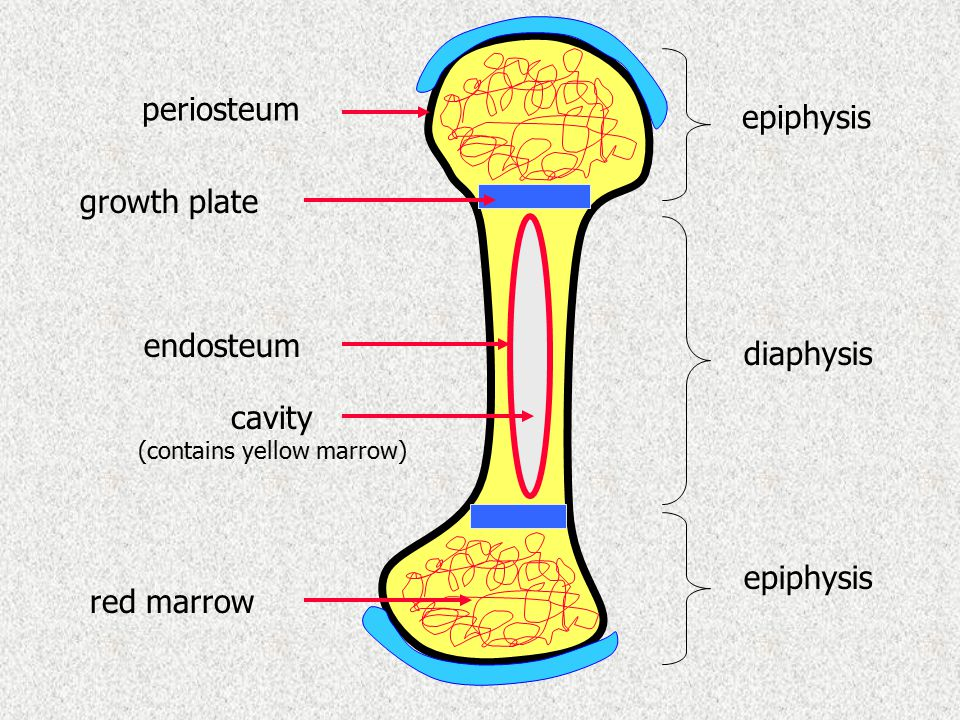 epiphysis diaphysis periosteum endosteum cavity (contains yellow marrow) growth plate red marrow