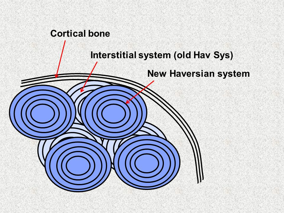 Cortical bone Interstitial system (old Hav Sys) New Haversian system