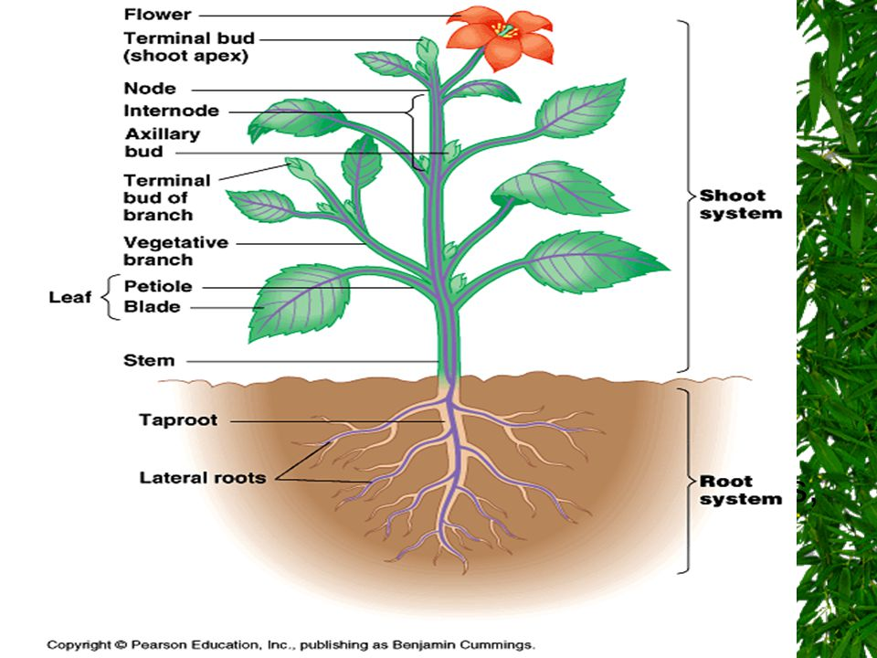 General Organization A plant has two organ systems: 1.the shoot system Found above ground and includes the organs such as leaves, buds, stems, flowers