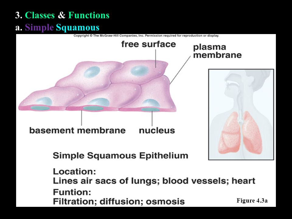a. Simple Squamous 3. Classes & Functions Figure 4.3a