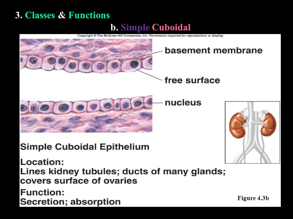 3. Classes & Functions b. Simple Cuboidal Figure 4.3b