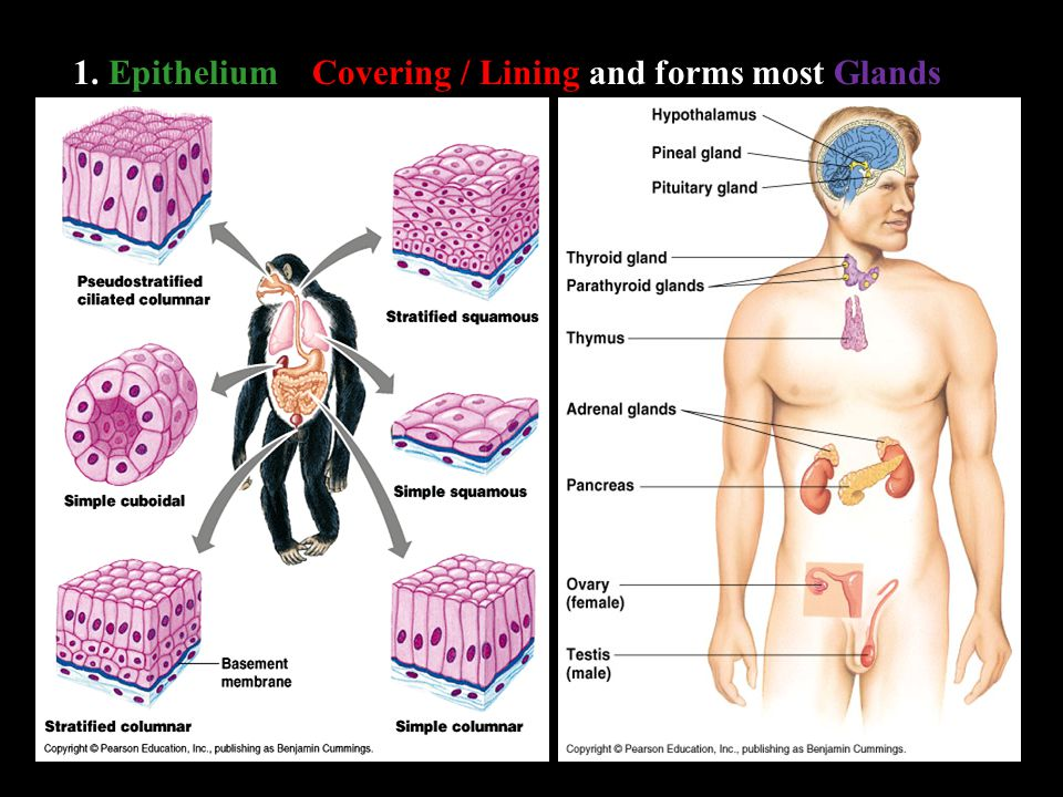 1. EpitheliumCovering / Lining and forms most Glands