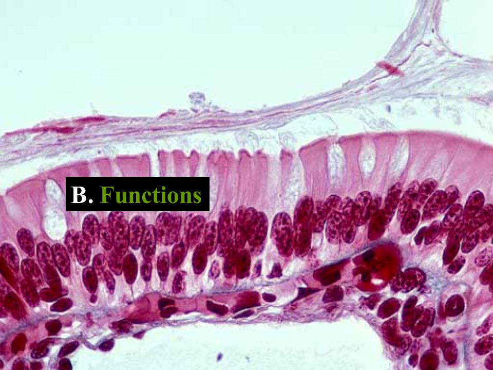 2a. Cartilage C. T., Hyaline Figure 4.8g