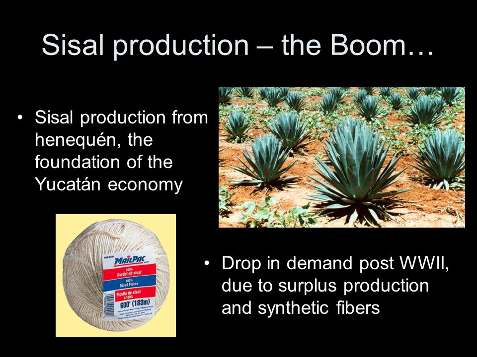 Sisal production – the Boom… Sisal production from henequén, the foundation of the Yucatán economy Drop in demand post WWII, due to surplus production and synthetic fibers