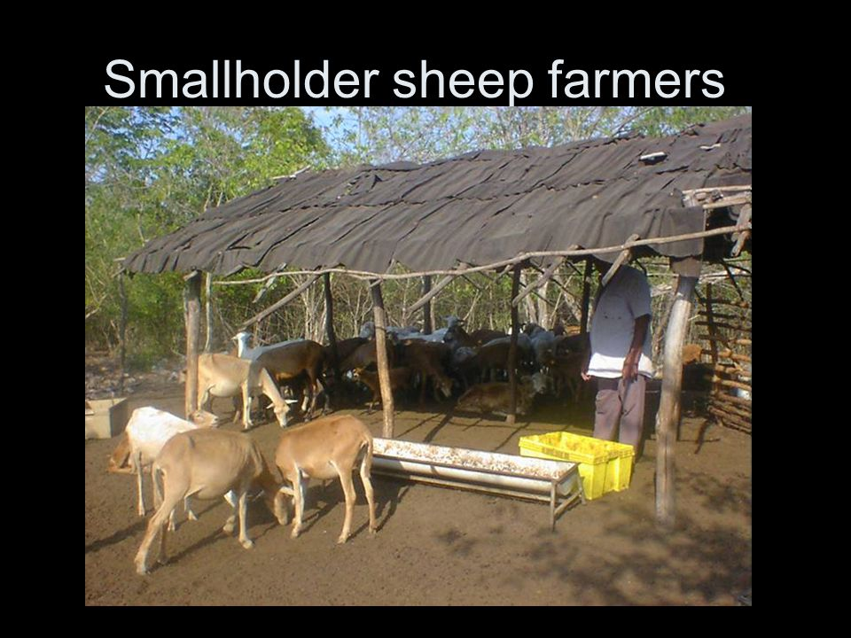 Smallholder sheep farmers