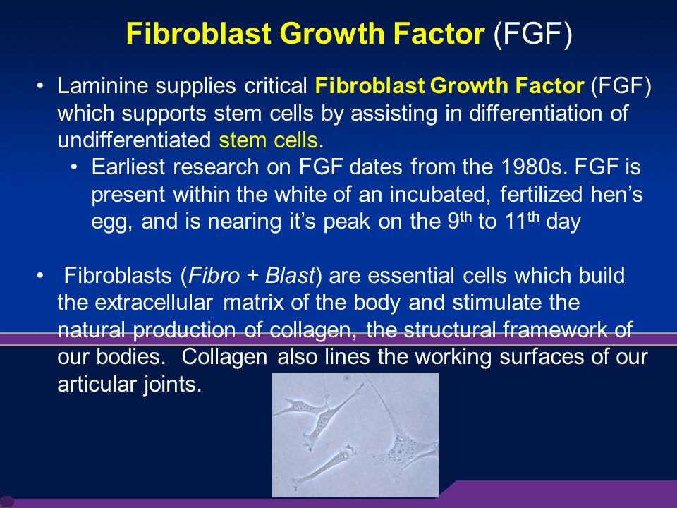 8 Laminine supplies critical Fibroblast Growth Factor (FGF) which supports stem cells by assisting in differentiation of undifferentiated stem cells.