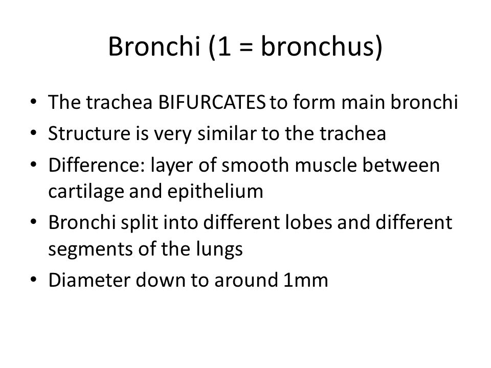 Bronchi (1 = bronchus) The trachea BIFURCATES to form main bronchi Structure is very similar to the trachea Difference: layer of smooth muscle between