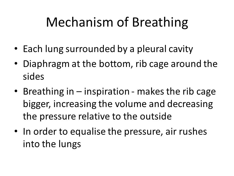 Mechanism of Breathing Each lung surrounded by a pleural cavity Diaphragm at the bottom, rib cage around the sides Breathing in – inspiration - makes