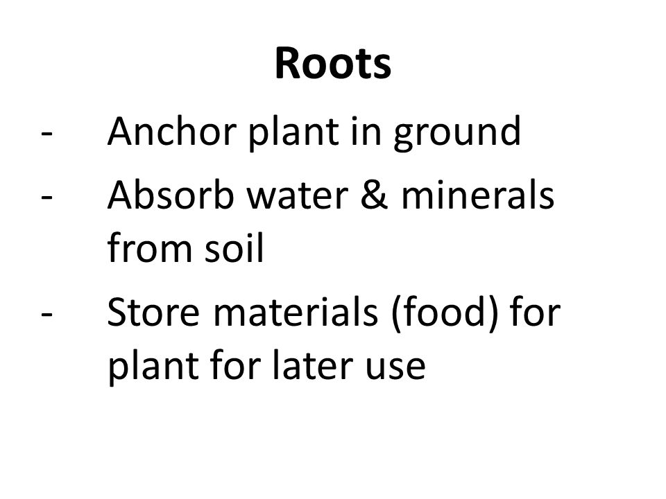 Roots -Anchor plant in ground -Absorb water & minerals from soil -Store materials (food) for plant for later use