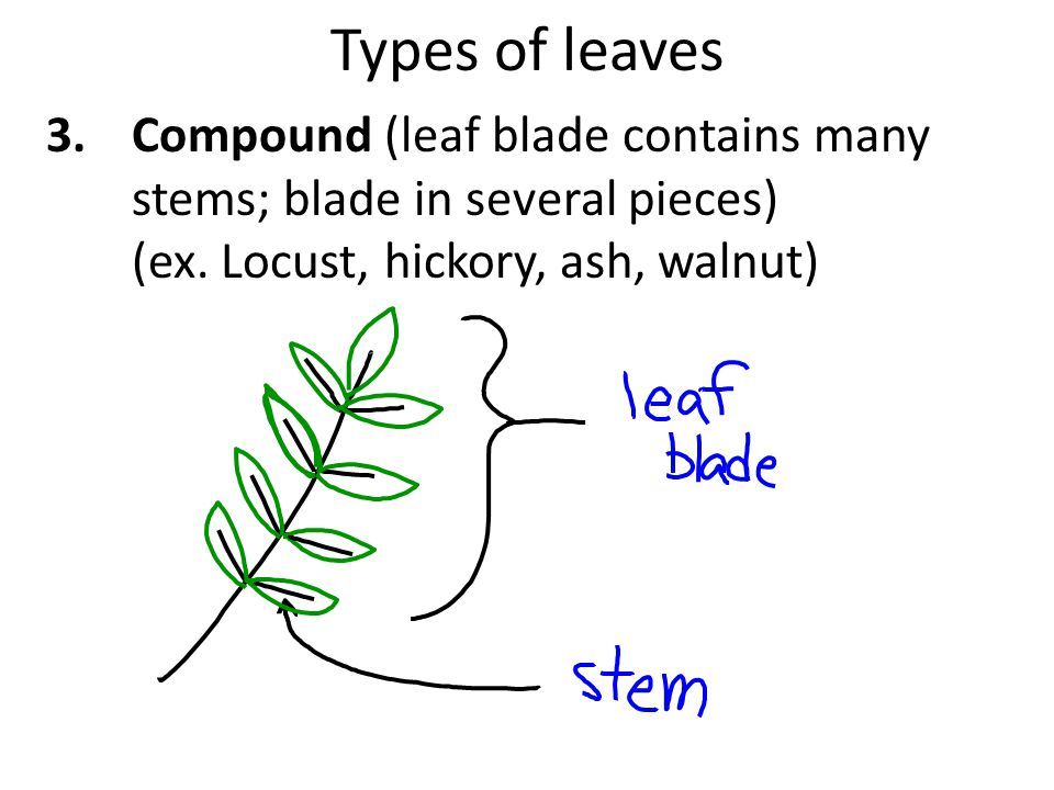Types of leaves 3.Compound (leaf blade contains many stems; blade in several pieces) (ex.