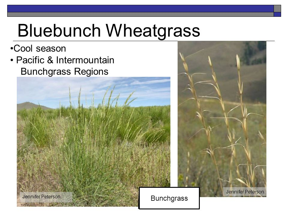 Bluebunch Wheatgrass Cool season Pacific & Intermountain Bunchgrass Regions Jennifer Peterson Bunchgrass Jennifer Peterson