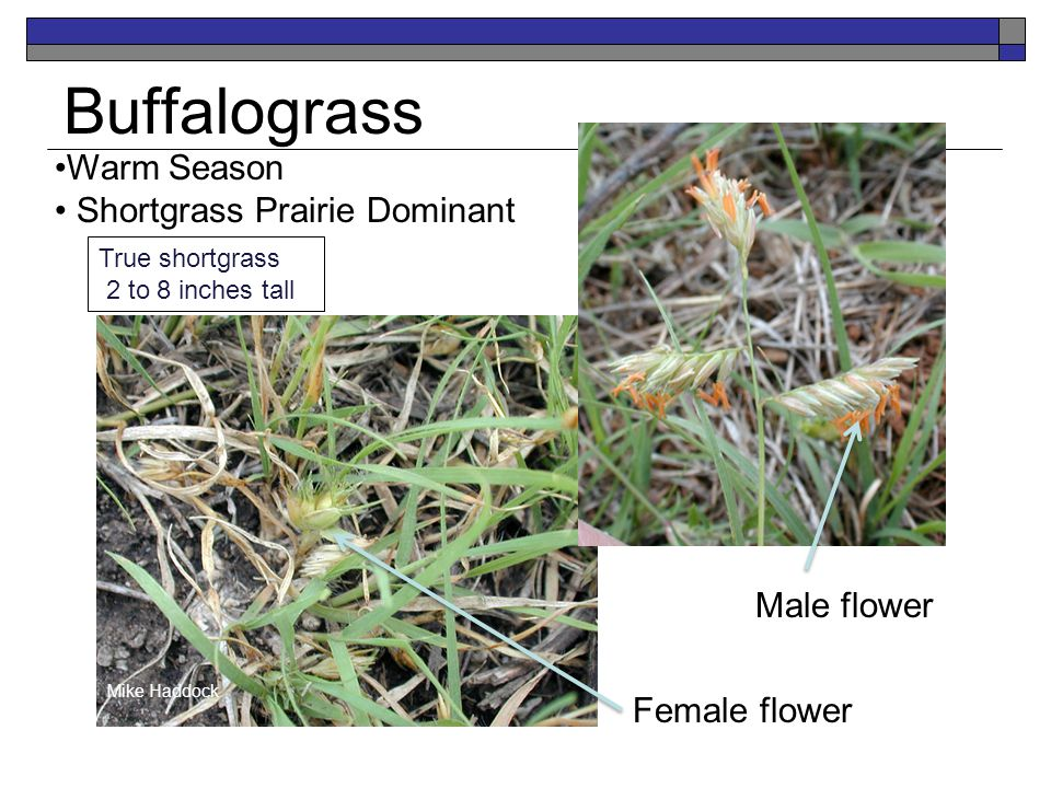 Buffalograss Warm Season Shortgrass Prairie Dominant Mike Haddock True shortgrass 2 to 8 inches tall Mike Haddock Male flower Female flower
