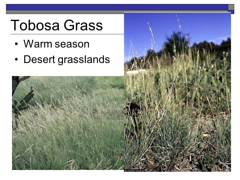 Tobosa Grass Warm season Desert grasslands