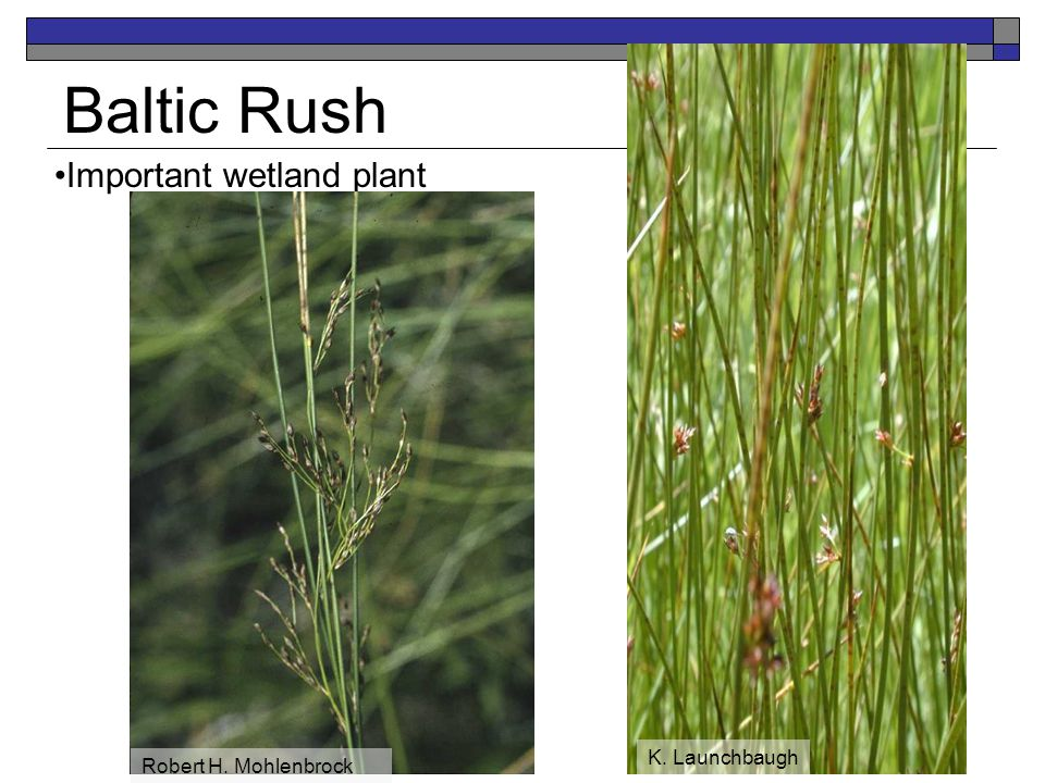 Baltic Rush Important wetland plant K. Launchbaugh Robert H. Mohlenbrock