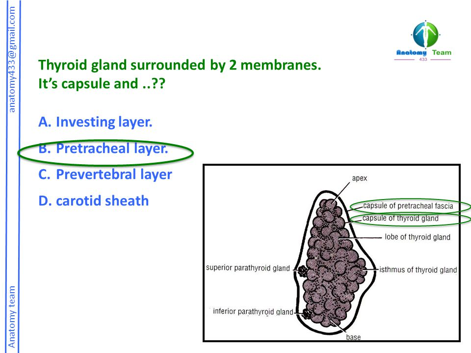 Anatomy team anatomy433@gmail.com Thyroid gland surrounded by 2 membranes. It's capsule and..?? A.Investing layer. B.Pretracheal layer. C.Prevertebral