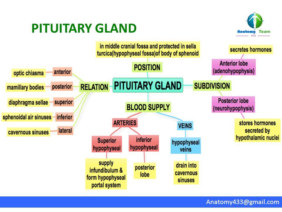 PITUITARY GLAND Anatomy433@gmail.com
