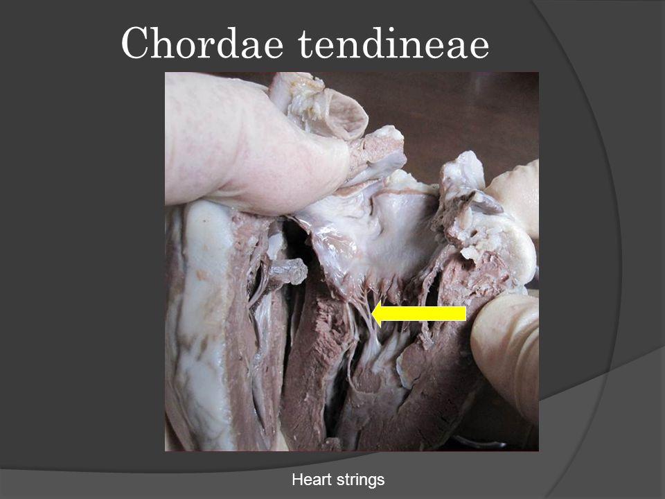 Chordae tendineae Heart strings