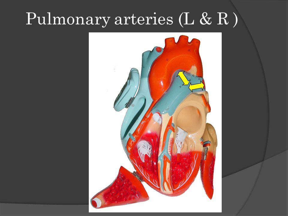 Pulmonary arteries (L & R )