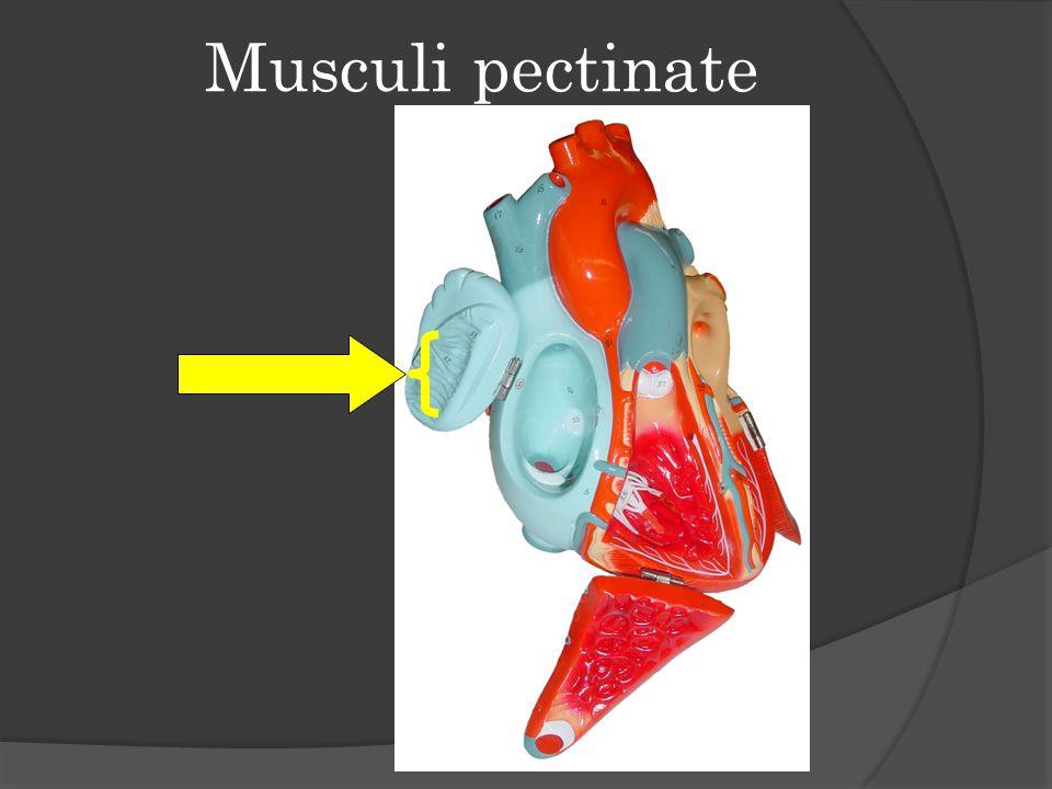 Musculi pectinate