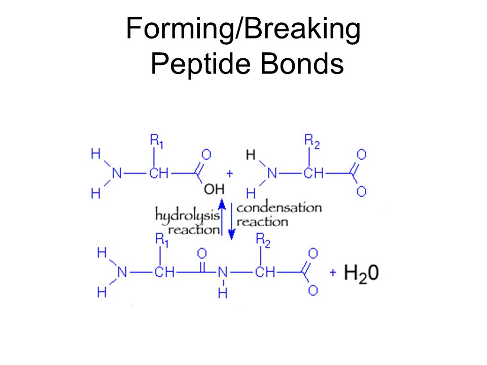 Forming/Breaking Peptide Bonds
