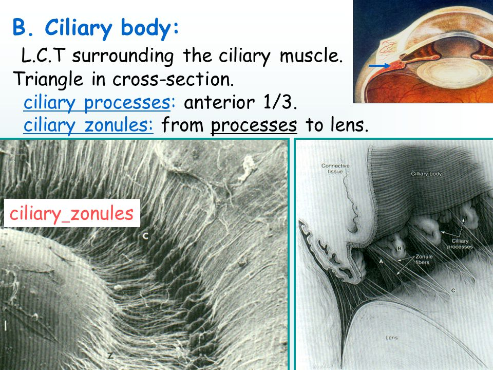 B. Ciliary body: L.C.T surrounding the ciliary muscle.